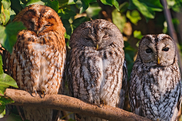 Three Owls - Tambako the Jaguar Medium - flickr